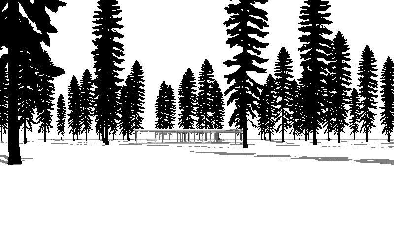 Engelman Spruce